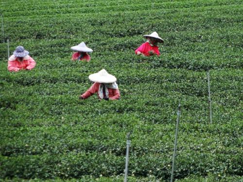 Tee Ernte Taiwan Teeberge