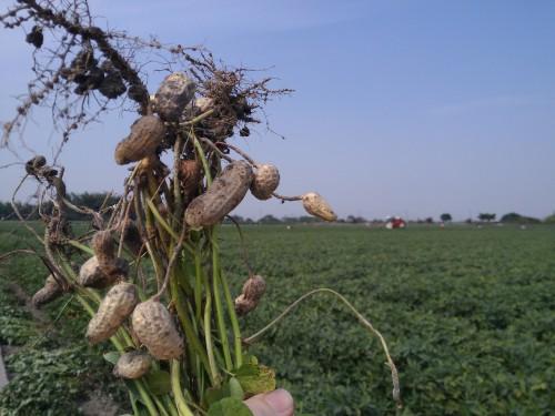 Frische Erdnusspflanzen