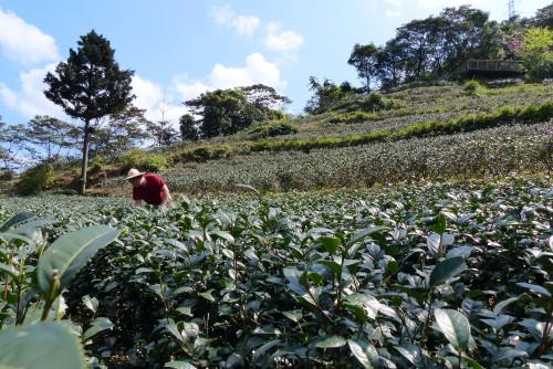 Teeplantage Maokong