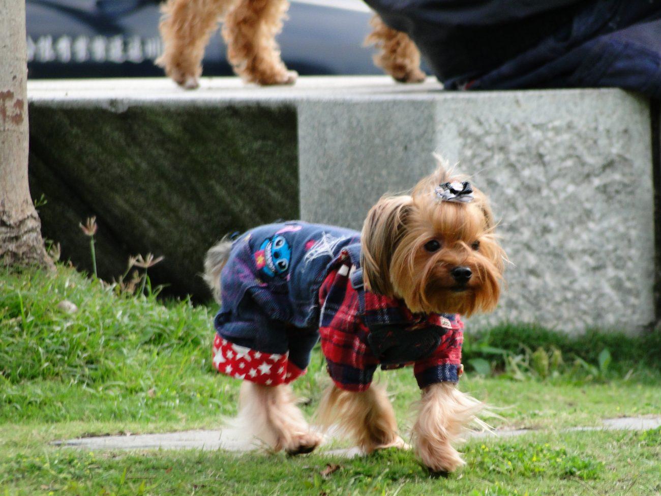 Hund mit Kleidchen