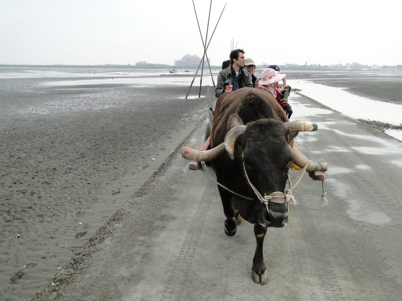 Ochsenkarren im Wattenmeer vor Taiwan